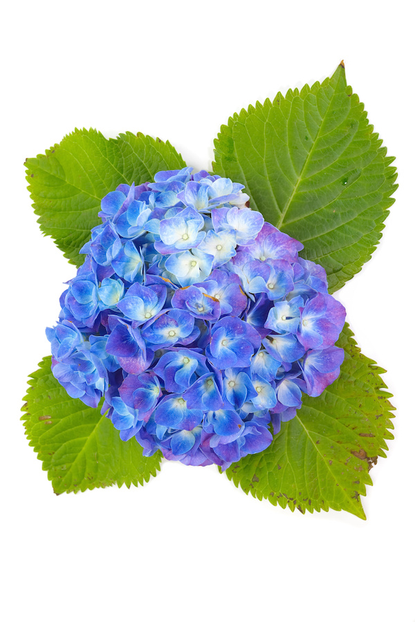 beautiful hydrangea flower isolated on white background..