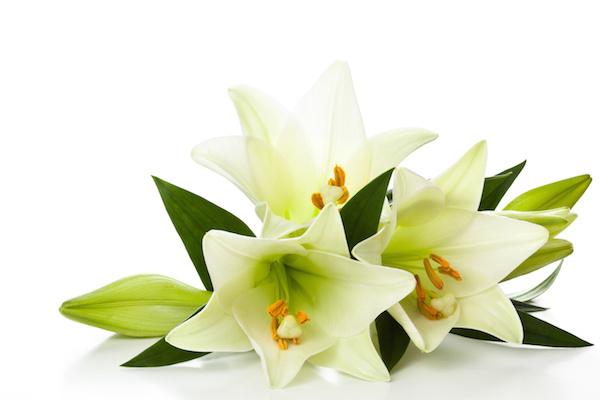 White lilies.